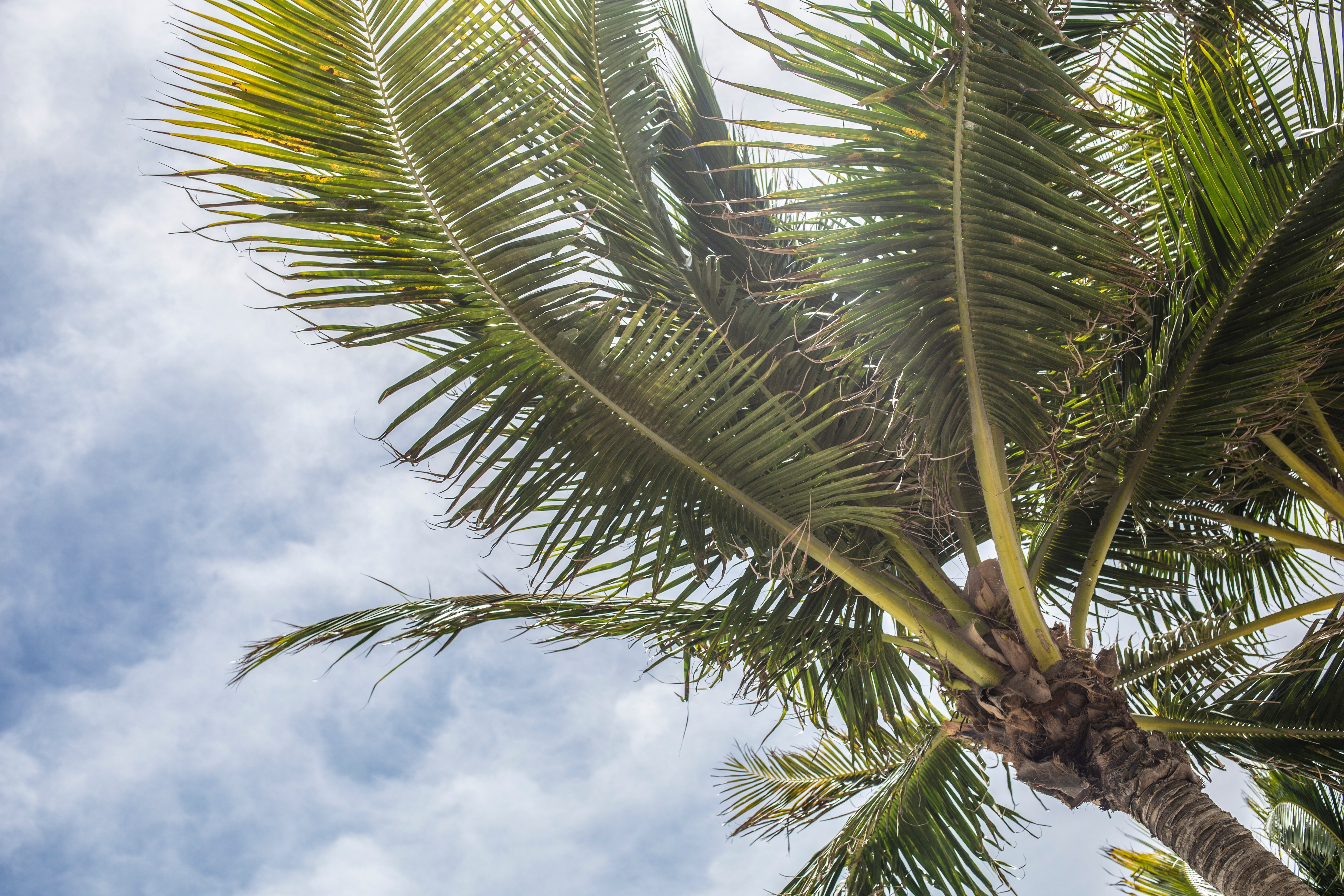Coconut tree with cloudy skies above.