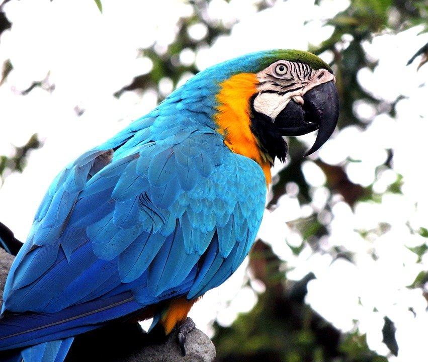 A blue parrot.